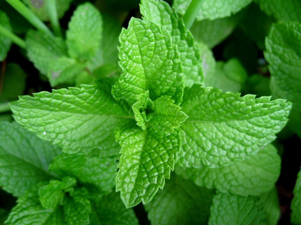 mint-leaves1